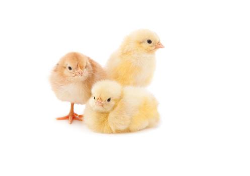 Easter「Easter Baby Chicken」:スマホ壁紙(7)