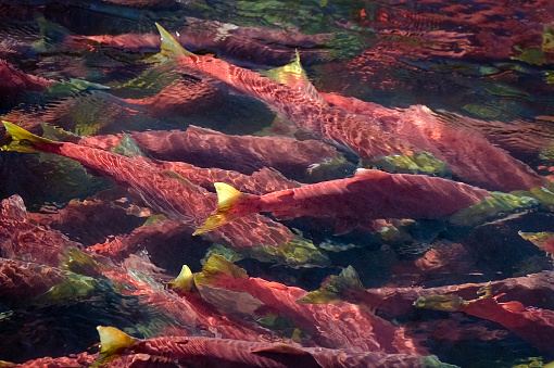 アダムズ川「産卵するベニザケ、赤の色、ギャザー入り一緒に深いプール」:スマホ壁紙(1)