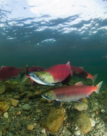 アダムズ川「spawning sockeye salmon (Oncorhynchus nerka)」:スマホ壁紙(3)