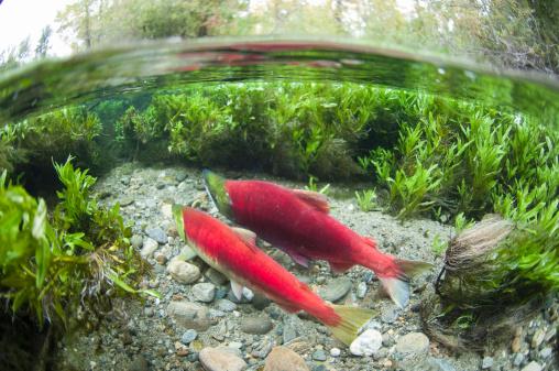 アダムズ川「spawning sockeye salmon (Oncorhynchus nerka)」:スマホ壁紙(4)