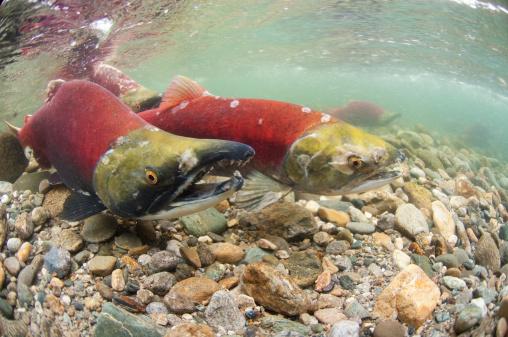 アダムズ川「spawning sockeye salmon (Oncorhynchus nerka)」:スマホ壁紙(2)
