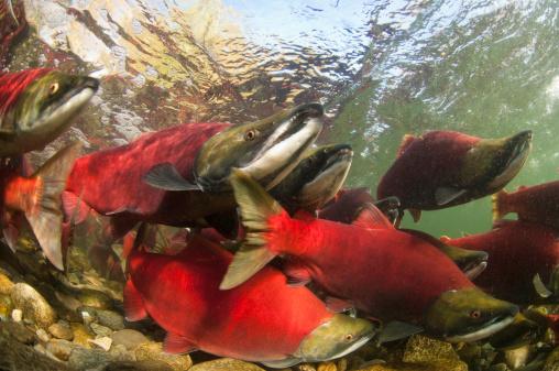 アダムズ川「Spawning sockeye salmon」:スマホ壁紙(9)
