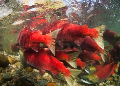 アダムズ川「spawning sockeye salmon (Oncorhynchus nerka)」:スマホ壁紙(1)