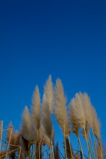 Japanese pampas grass「Clear Sky Over Pampas Grass」:スマホ壁紙(14)