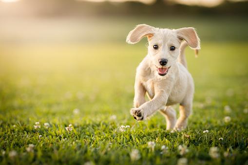 Animal「Puppy running at the park」:スマホ壁紙(12)