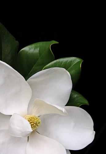 Magnolia「White magnolia flower over a black background」:スマホ壁紙(14)