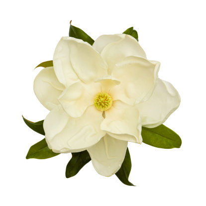 Magnolia「White Magnolia Flower」:スマホ壁紙(13)