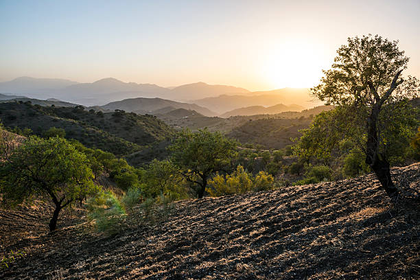 Andalusian landscape at sunset with olive trees in Spain:スマホ壁紙(壁紙.com)