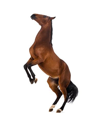馬「Andalusian horse rearing」:スマホ壁紙(0)
