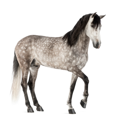 Horse「Andalusian with front leg up」:スマホ壁紙(17)