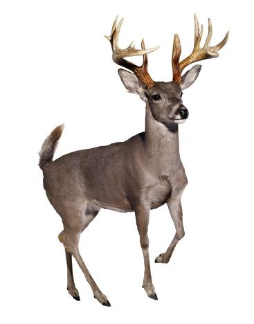 ガラス「Stuffed Mule Deer」:スマホ壁紙(10)