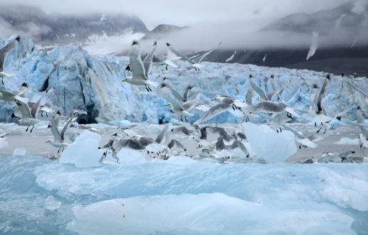 Pack Ice「Kittiwakes Flying In The Arctic」:スマホ壁紙(10)