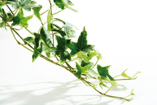 Creeper Plant「Ivy (Hedera helix), close-up」:スマホ壁紙(19)