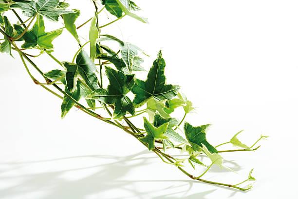 Ivy (Hedera helix), close-up:スマホ壁紙(壁紙.com)