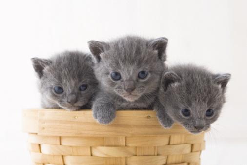 子猫「Three Chartreux in a basket」:スマホ壁紙(9)