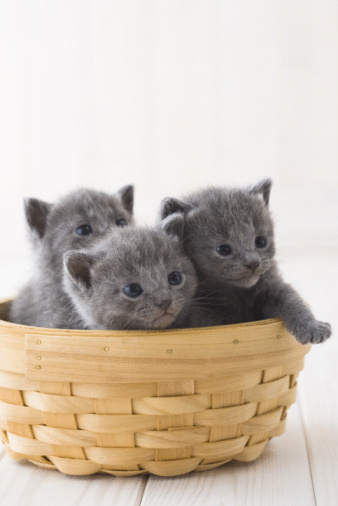 子猫「Three Chartreux in a basket」:スマホ壁紙(8)