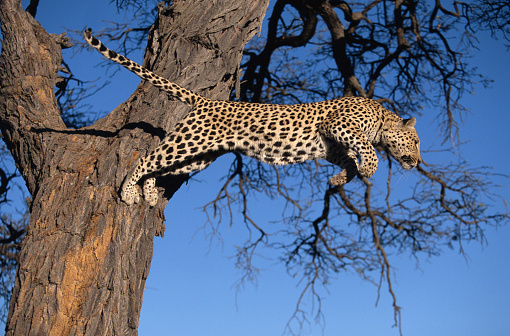 Pouncing「Leopard (Panthera pardus) leaping from tree, low angle view」:スマホ壁紙(11)