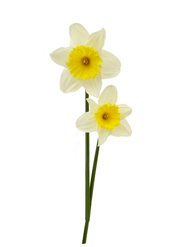 Daffodil「White daffodils with yellow trumpets on white」:スマホ壁紙(16)