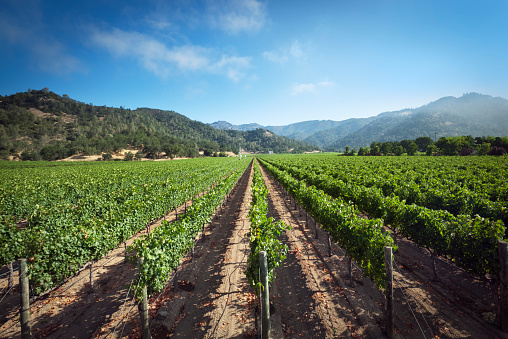 Vineyard「Napa Valley California Wine Country Vineyard Grape Vine Landscape」:スマホ壁紙(18)