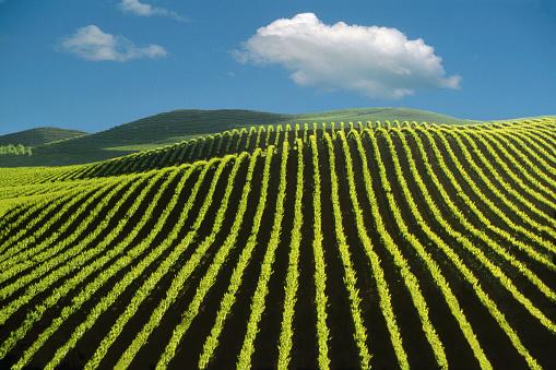 Vine - Plant「Napa Valley Vineyard」:スマホ壁紙(15)