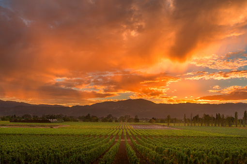Fog「Napa Valley California Vineyard landscape Sunset」:スマホ壁紙(6)