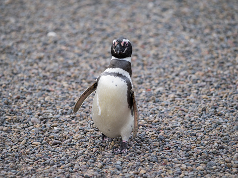Magellan Penguin「Magallanic Penguin in Punta Tombo」:スマホ壁紙(14)