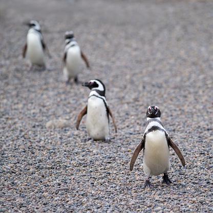 Magellan Penguin「Magallanic Penguin in Punta Tombo」:スマホ壁紙(17)