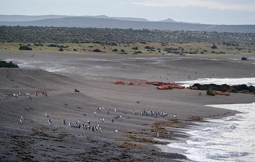 Magellan Penguin「Magallanic Penguin in Punta Tombo」:スマホ壁紙(9)