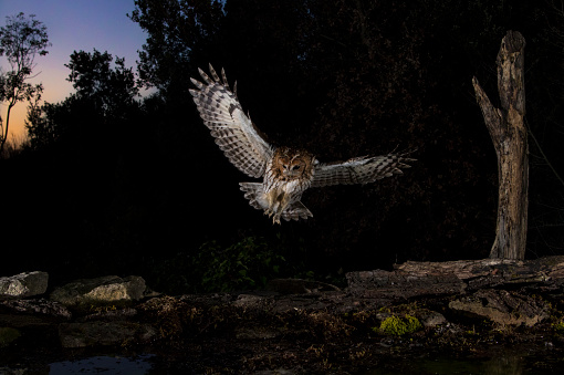 Animal Wing「Tawny owl flying in the forest at night, Spain」:スマホ壁紙(1)