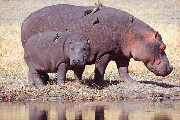 Adult and young hippopotamus by water, Botswana:スマホ壁紙(壁紙.com)