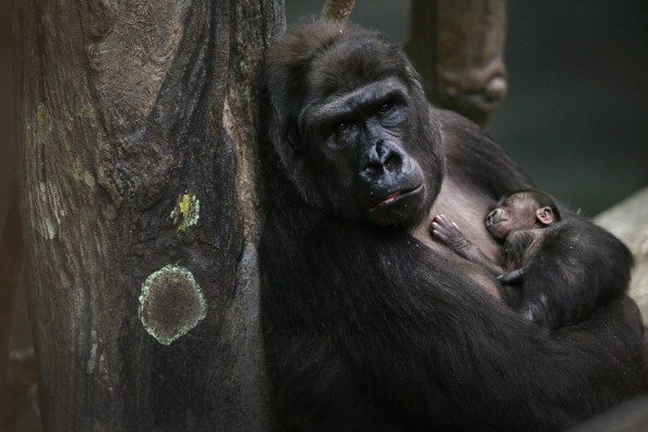 Gorilla「Gorilla Baby Draws Visitors To Chicago-Area Brookfield Zoo」:写真・画像(9)[壁紙.com]