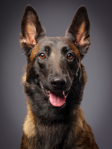 Dog「ベルジアンマリノア純血種の犬」:スマホ壁紙(13)