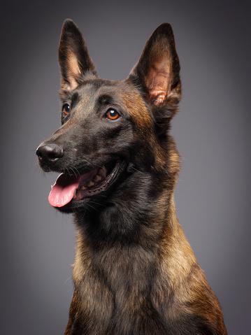 Dog「ベルジアンマリノア純血種の犬」:スマホ壁紙(14)