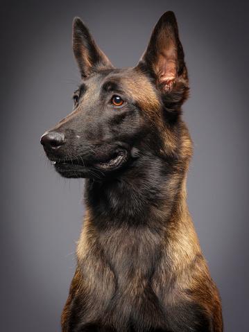 Dog「ベルジアンマリノア純血種の犬」:スマホ壁紙(16)