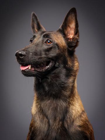 Dog「ベルジアンマリノア純血種の犬」:スマホ壁紙(11)
