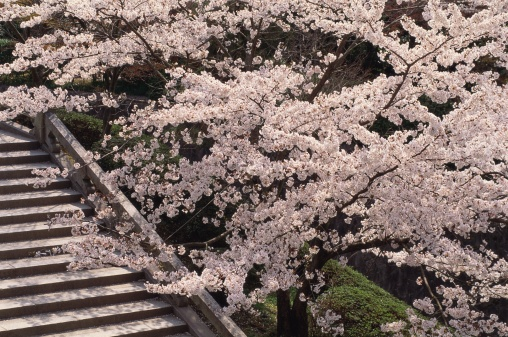 Cherry Blossoms「Kiyomizu-dera Temple, Kyoto Prefecture, Japan」:スマホ壁紙(14)