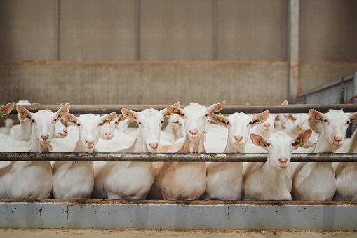 Goat「What a good looking flock of goats」:スマホ壁紙(16)