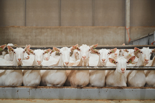 Goat「What a good looking flock of goats」:スマホ壁紙(14)