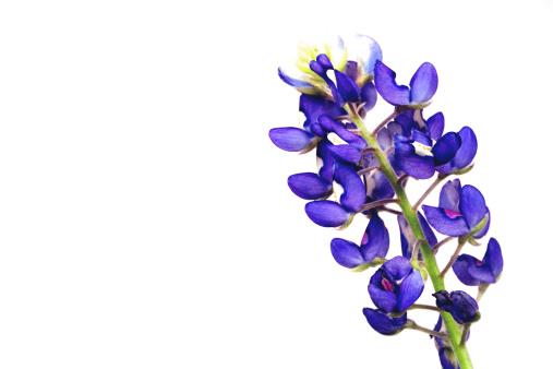 Wildflower「bluebonnet wildflower」:スマホ壁紙(19)