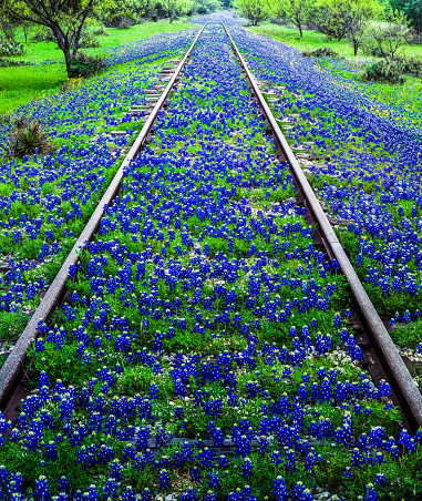 Wildflower「Bluebonnet wildflowers and old railroad track near Llano Texas」:スマホ壁紙(19)
