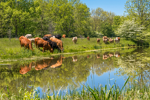 Cattle「Bucolic scene of domestic cattle in lush grass drinking, reflected in a placid stream.」:スマホ壁紙(0)