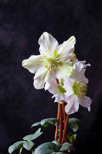 Hellebore「Christmas Rose in front of dark background」:スマホ壁紙(16)