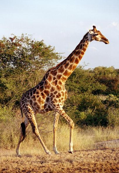 Giraffe「Kruger National Park」:写真・画像(11)[壁紙.com]