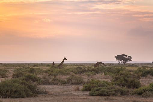 Giraffe「のキリン 」:スマホ壁紙(3)