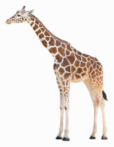 Giraffe「Giraffe」:スマホ壁紙(18)