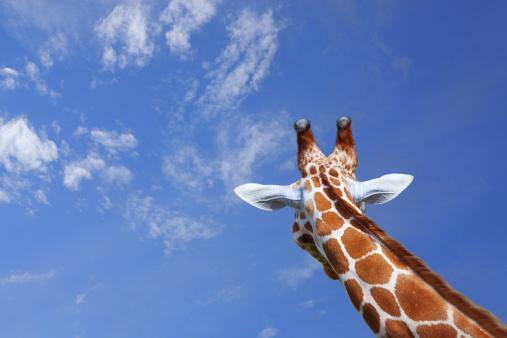Giraffe「Giraffe」:スマホ壁紙(15)
