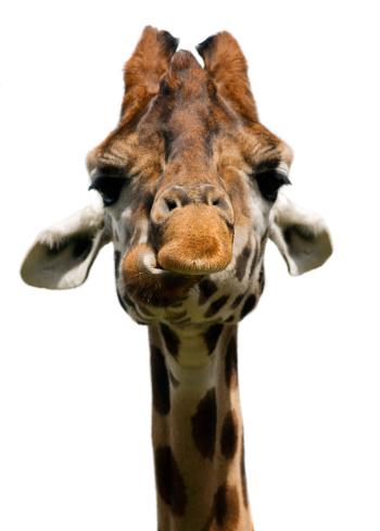 Giraffe「Giraffe (Giraffa camelopardalis)」:スマホ壁紙(18)
