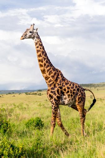 Eco Tourism「Giraffe」:スマホ壁紙(1)