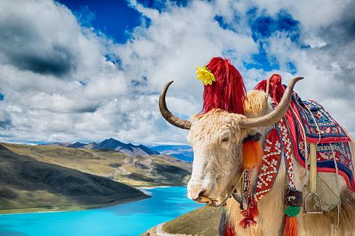 Yak「Decorated Yak above Yamdrok Lake, Tibet」:スマホ壁紙(8)