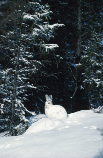 Rabbit - Animal「White rabbit in snow」:スマホ壁紙(19)